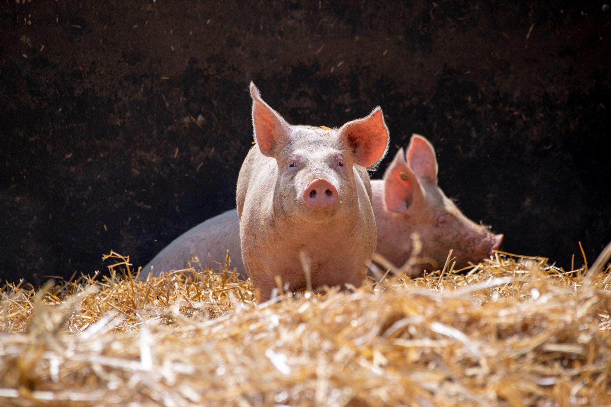 Schweine-01-web