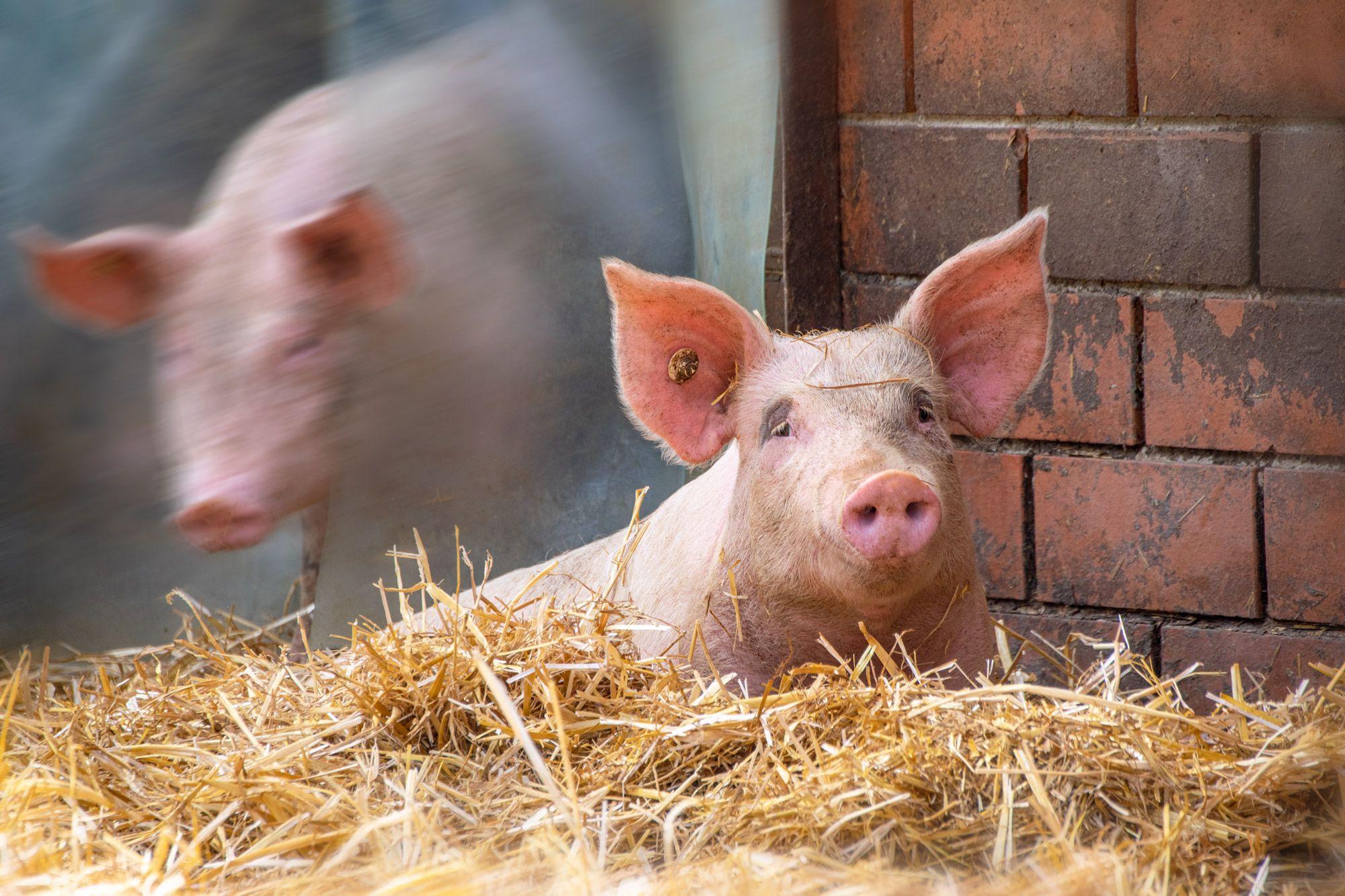 Schweine-03-web