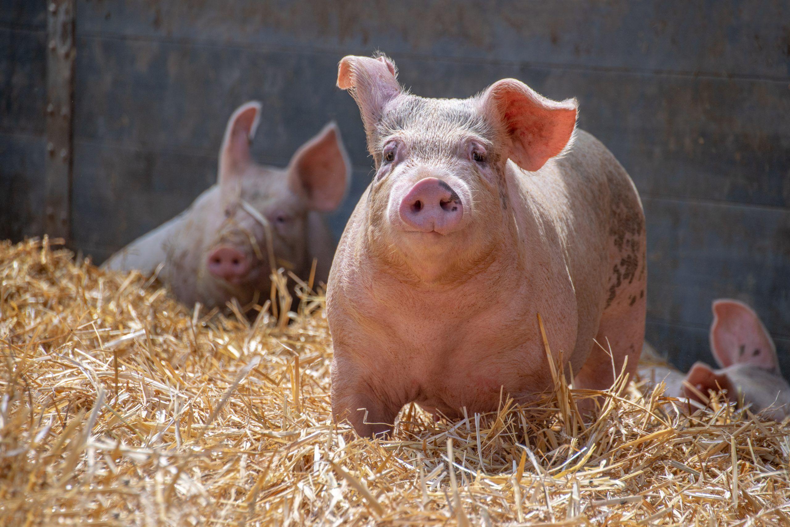 Schweine 05
