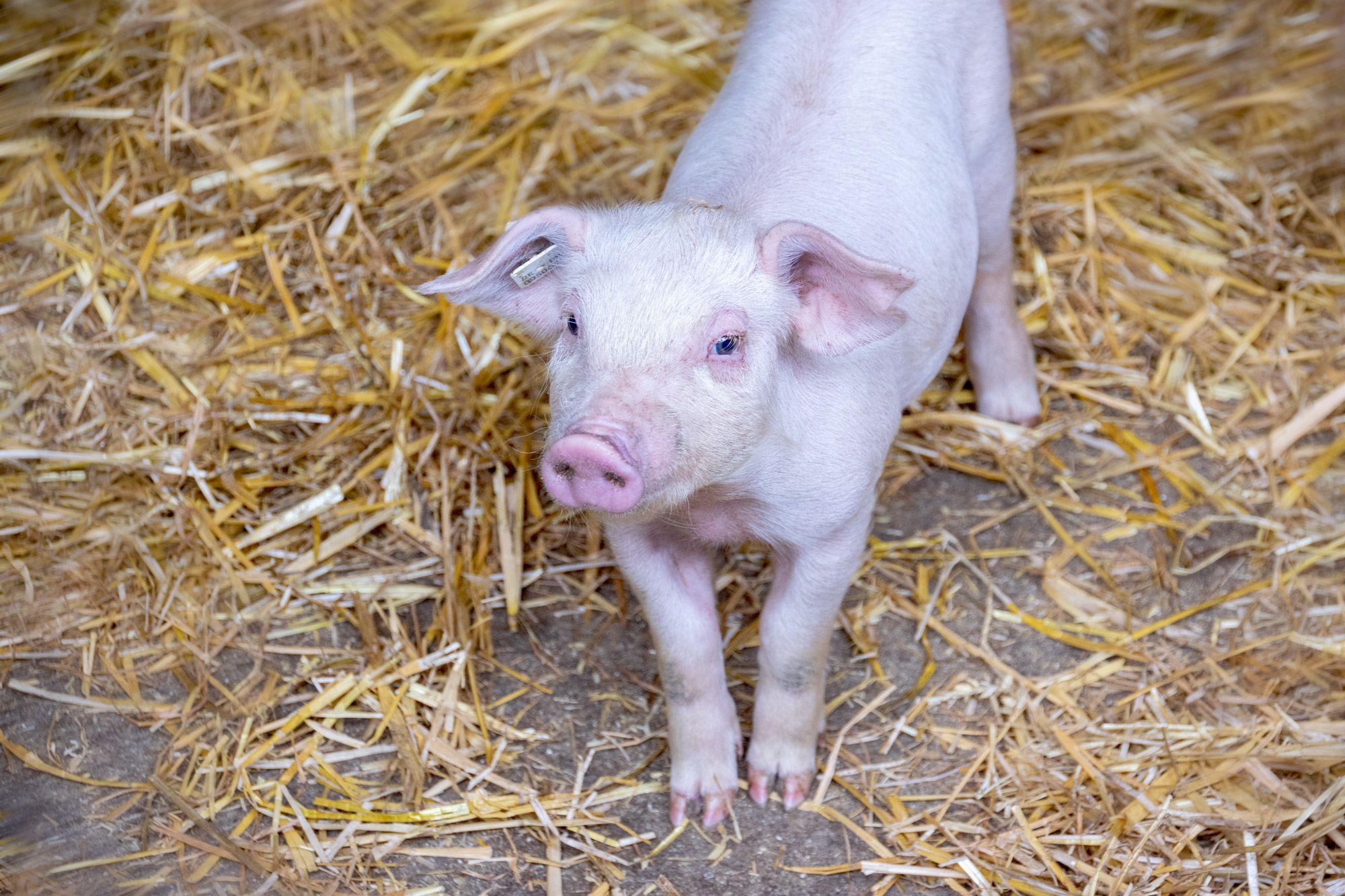 Schweine-06-web