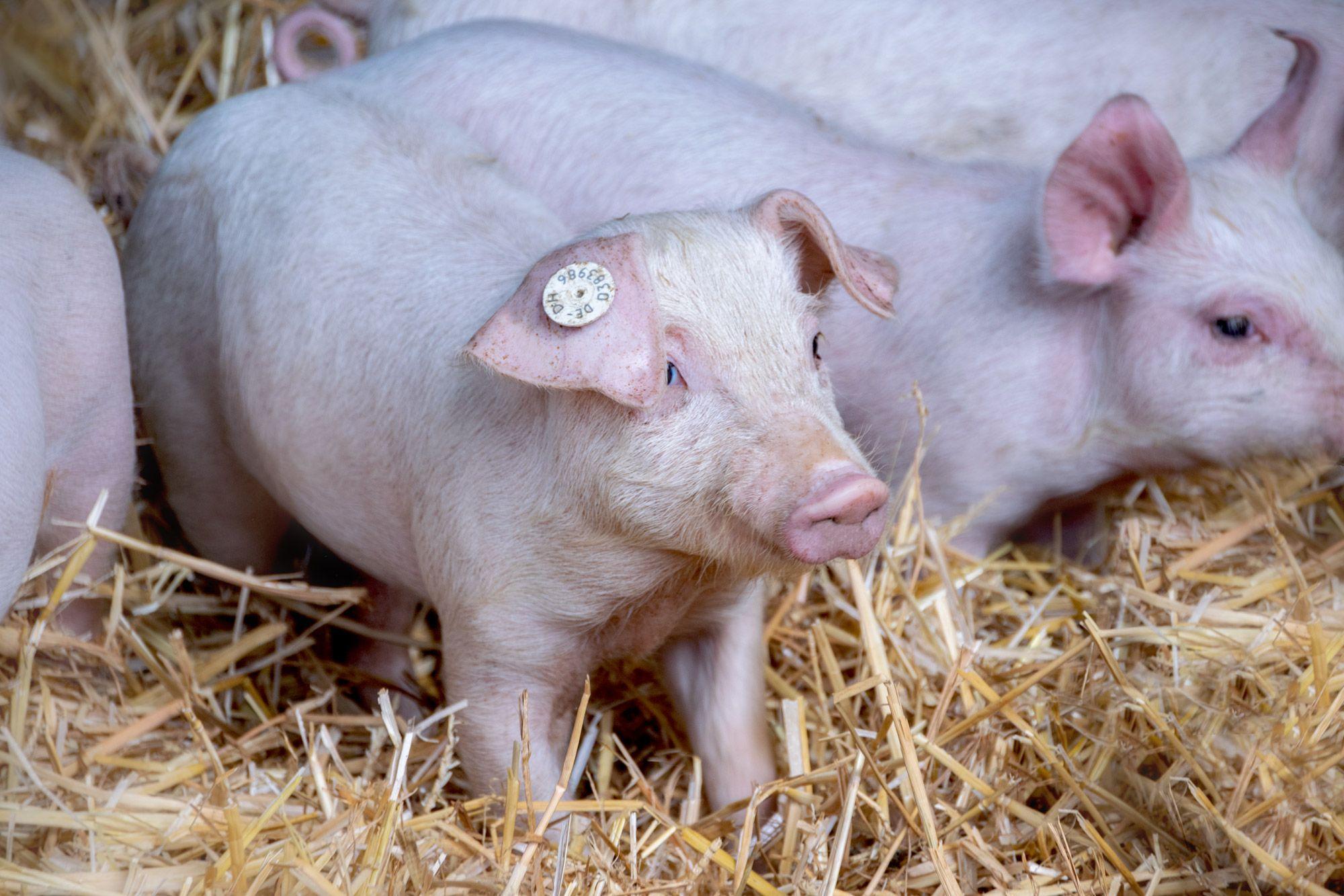 Schweine-07-web