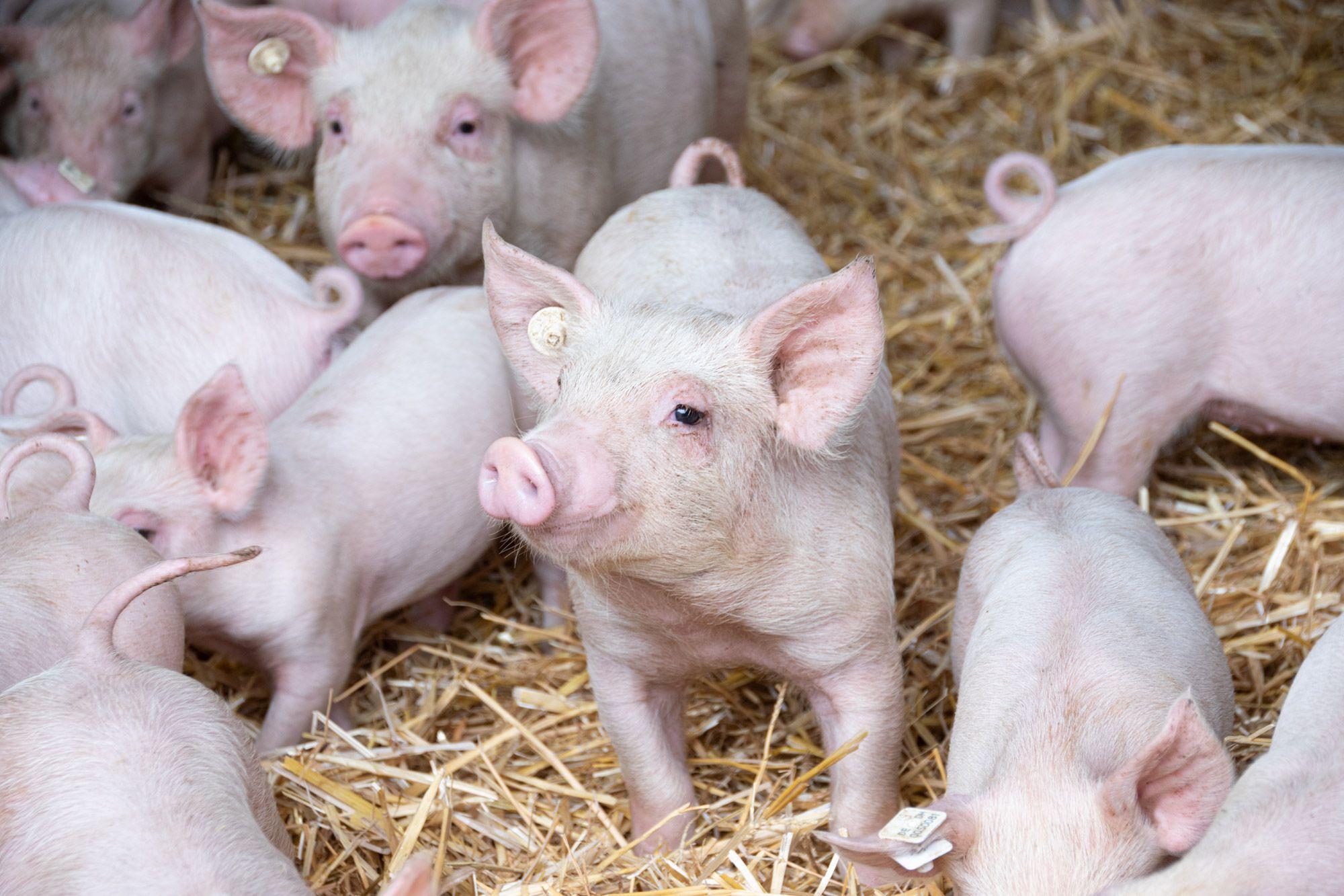 Schweine-08-web