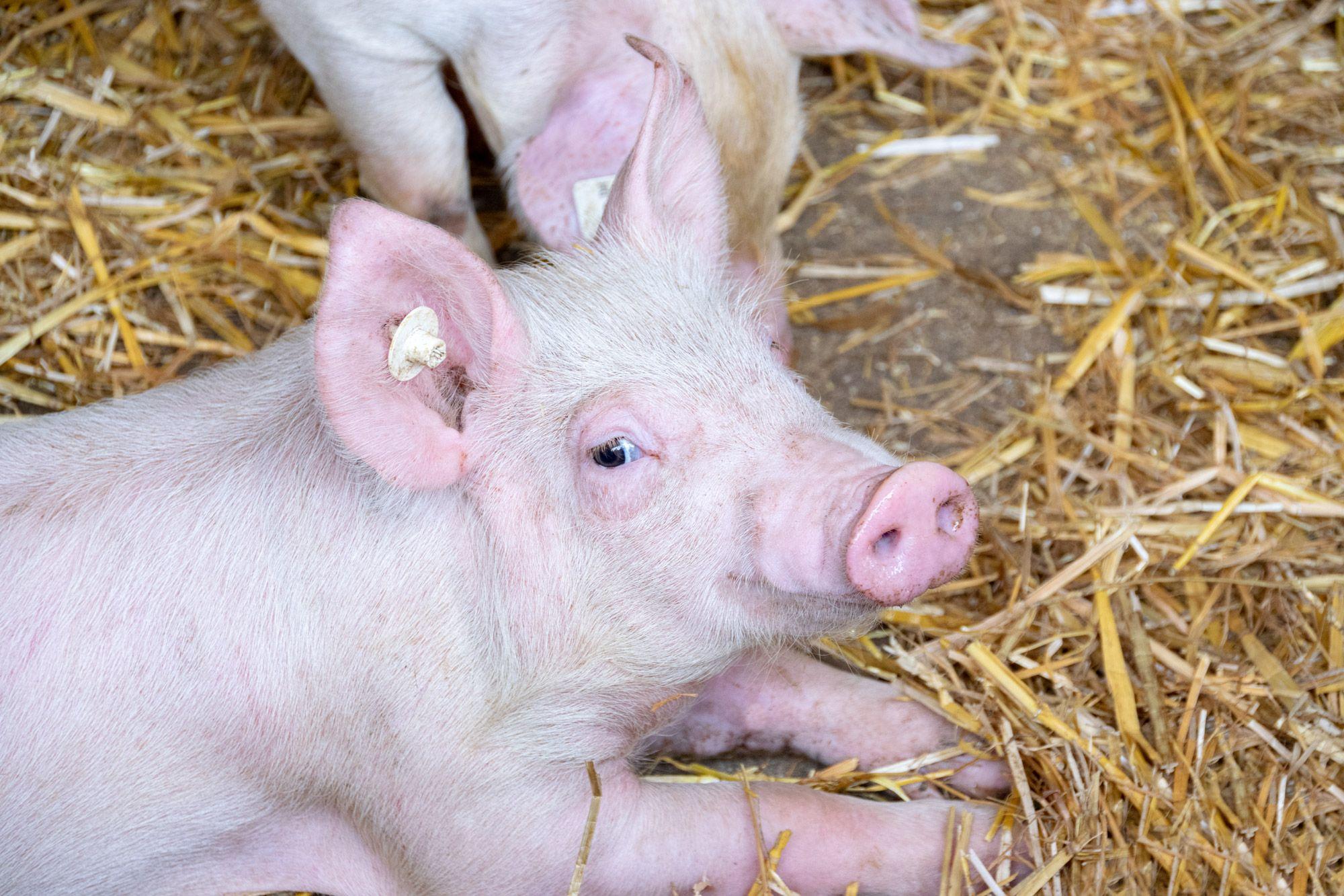 Schweine-09-web