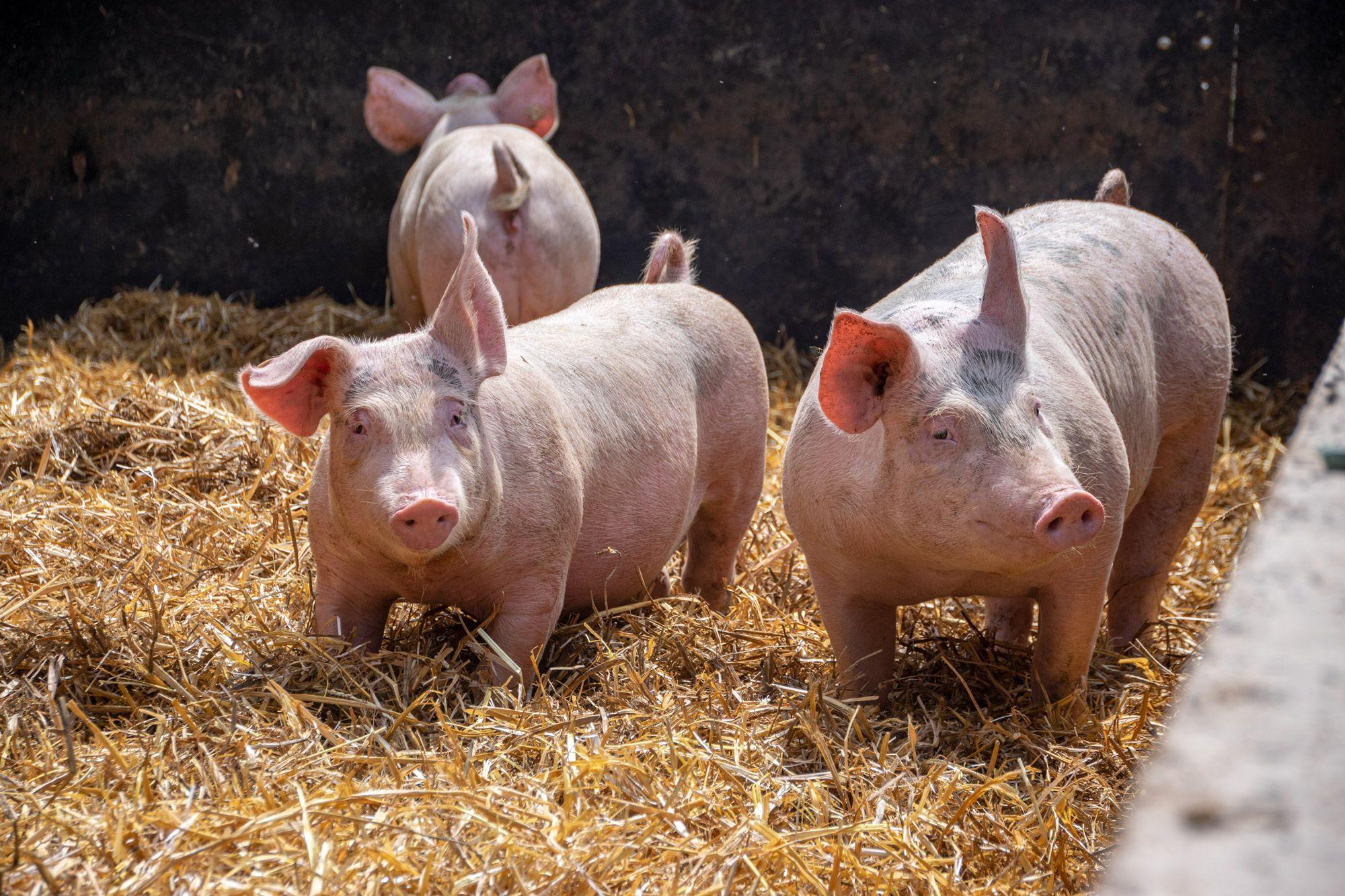 Schweine-10-web