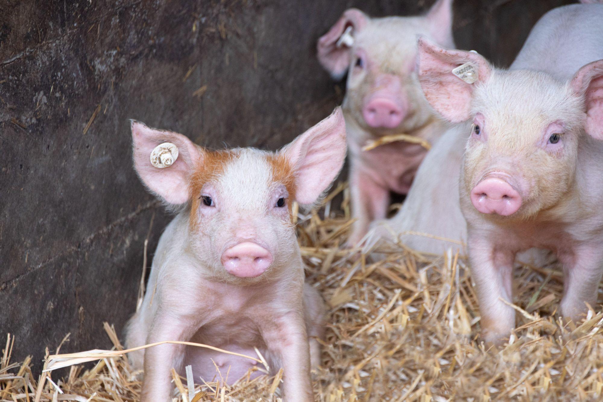 Schweine-11-web